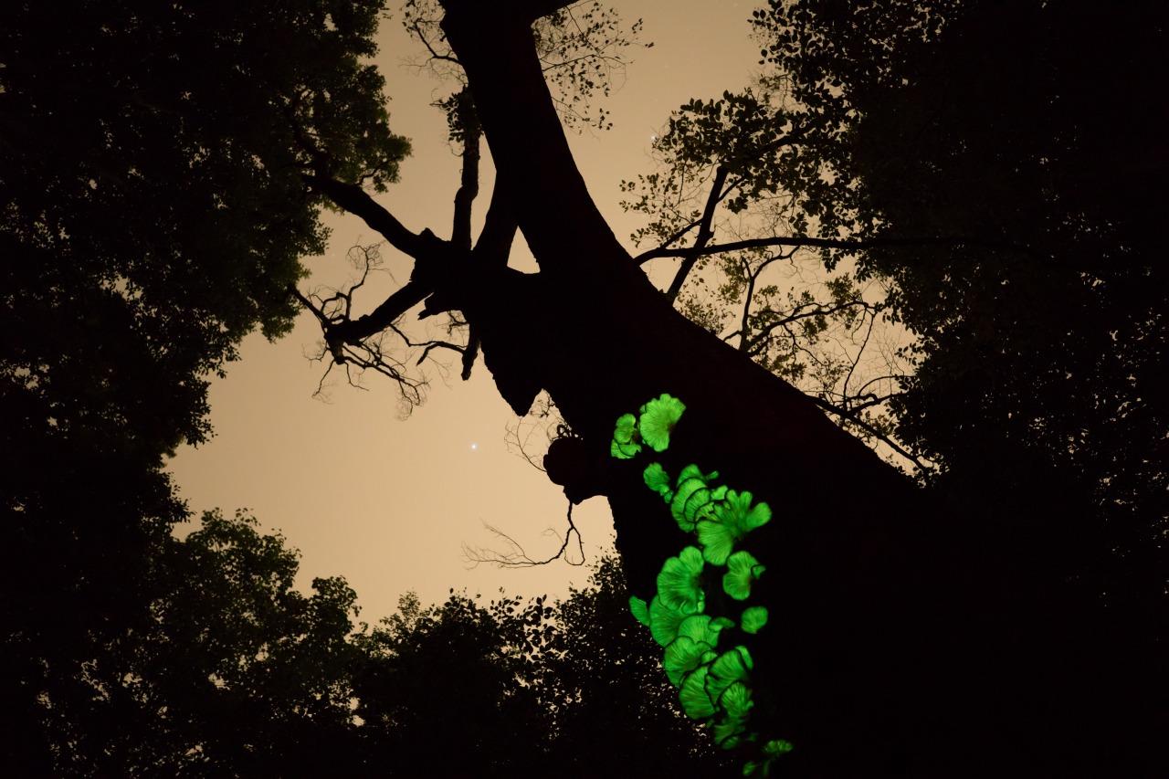秋の森の闇をほのかに照らす幽菌の群れ