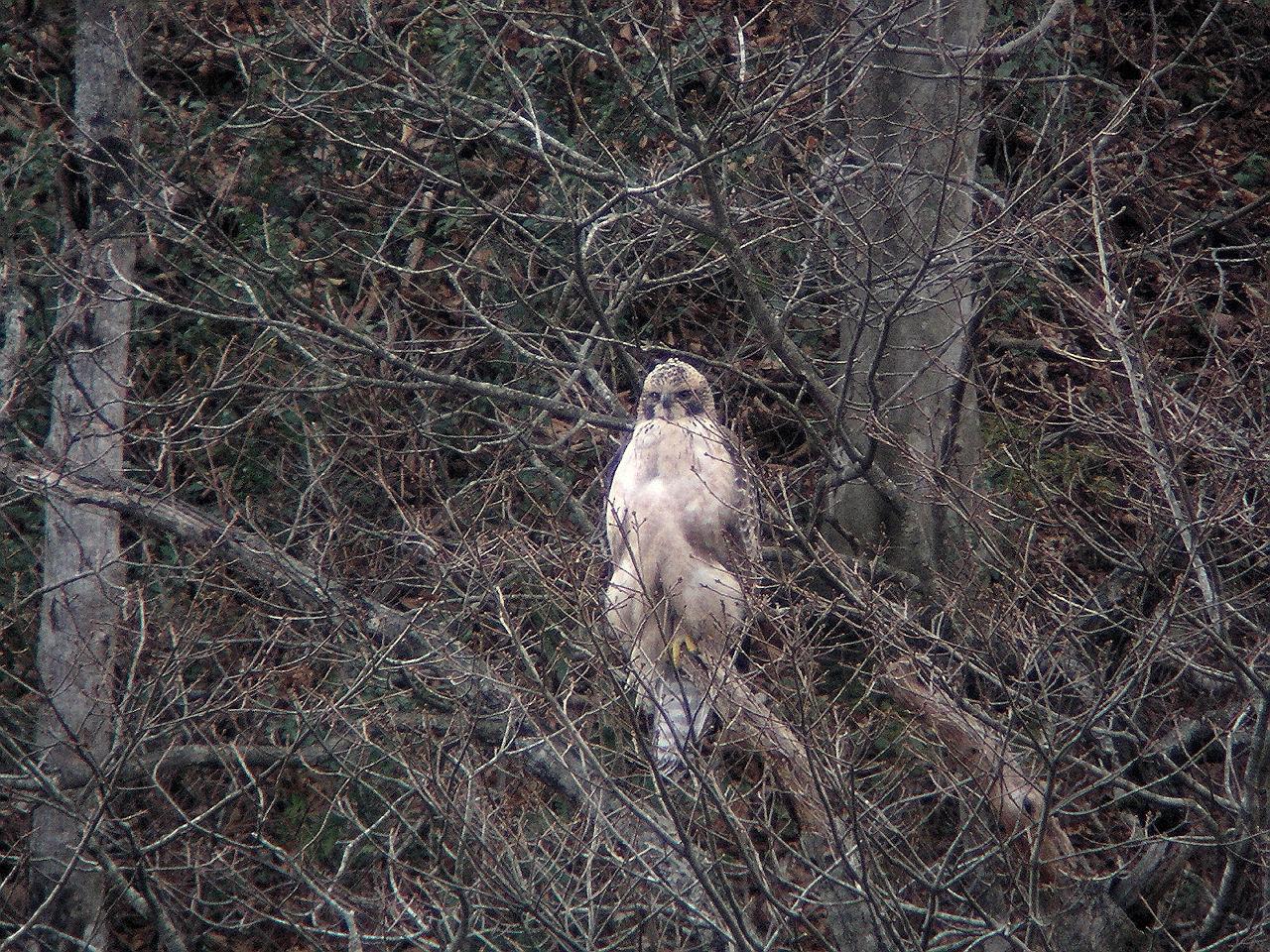 ブナの森に潜む高貴なるタカ(その2)