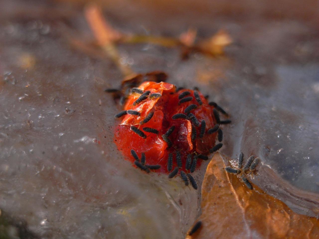 冬明けを告げる雪上の昆虫―トビムシ(その2)